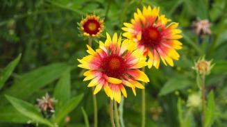 blanketflower-1597119_1920